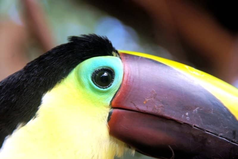 one-of-costa-rica-toucans