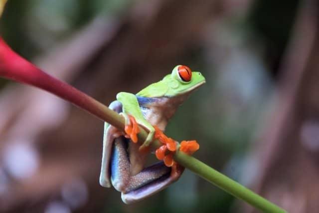red-eye-frog